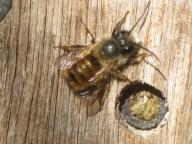 Eine Biene krabbelt auf einem Brett.