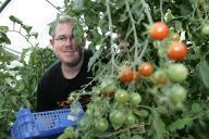 Tomaten werden gepflückt