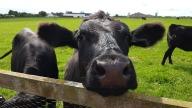Tierisches Landleben zum Anfassen: Eine schwarze Kuh streckt ihre Nase über einen Zaun in die Kamera. Sie steht auf einer grünen Weide mit Artgenossen im Hintergrund.