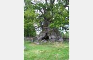 Bild eines alten Baumes.