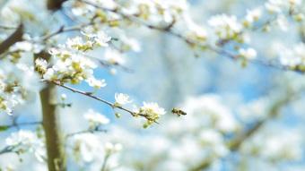 Eine Biene besucht einen blühenden Baum.