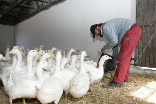 ein Mitarbeiter füttert die Gänse mit Trockenfutter