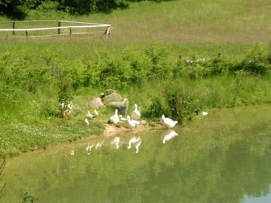 Gänser erfrischen sich bei sommerlichen Temperaturen am Teich des Kolonistenhofes.