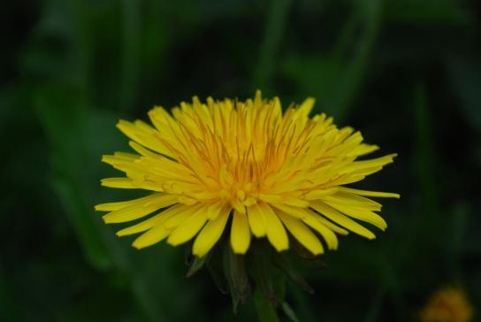 Auf dem Bild ist die Blüte des gelben Löwenzahns.
