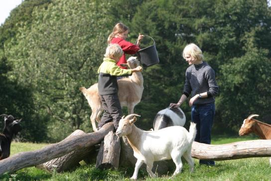 Ziegen gelten als sehr neugierig, und sind immer für einen guten Happen zu haben.