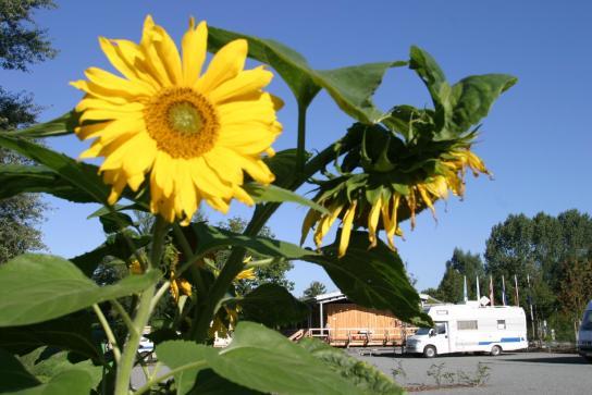 Sonnenblume mit Wohnmobil