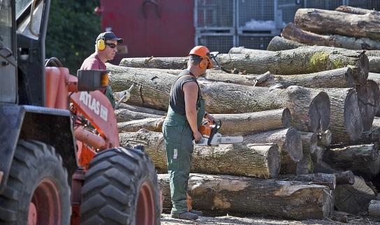 Bild Ein Mitarbeitender mit Handicap sägt Baumst�