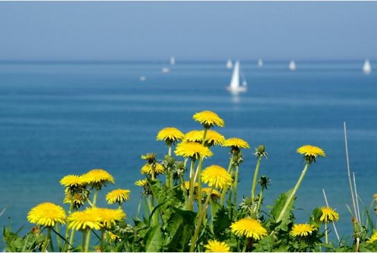 im Vordergrund sehen wir Gänseblümchen, im Hintergrund das Meer