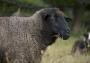 ein Schaf in unserer WG Boostedt, Haus an der Au