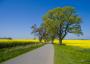 Wir sehen eine Straße, rechts am Wegesrand steht ein großer Baum und in der Ferne blüht der Raps