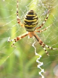 Eine Spinne spinnt ihren Faden zu einem Netz.