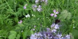 Auf dem Bild sieht man eine Hummel auf unserer neu angelegten Insektenwiese.