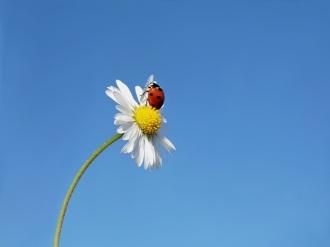Das Bild zeigt eine Blume mit einem Marienkäfer v