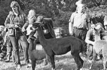 Alpakas - zum Streicheln nah