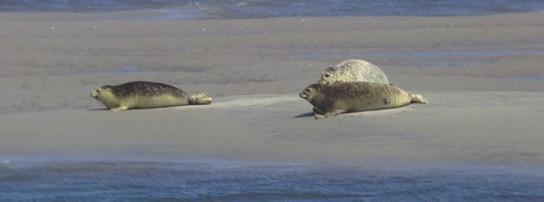 Bild: Drei Robben liegen auf einer Sandbank