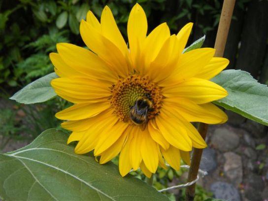 Sonnenblume mit Insekt