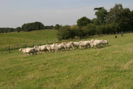 Schafe mit Schäfer und Hund