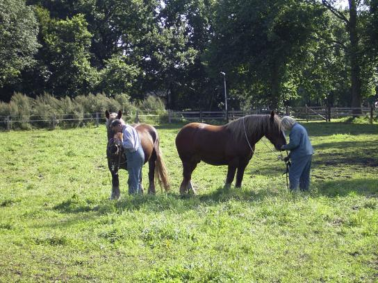 Zwei Pferde werden auf die Weide zurück gebracht