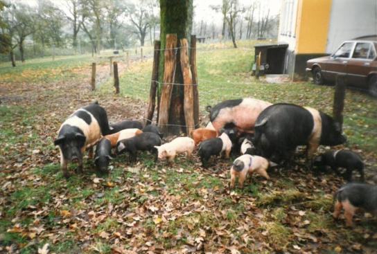 Im landwirtschaftlichen Bereich des Martinstifts wurden auch Rotbunte Schweine gezüchtet