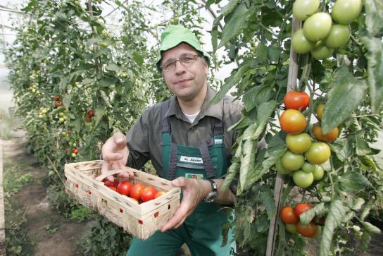 ein Mitarbeiter präsentiert frisch geerntete Tomaten