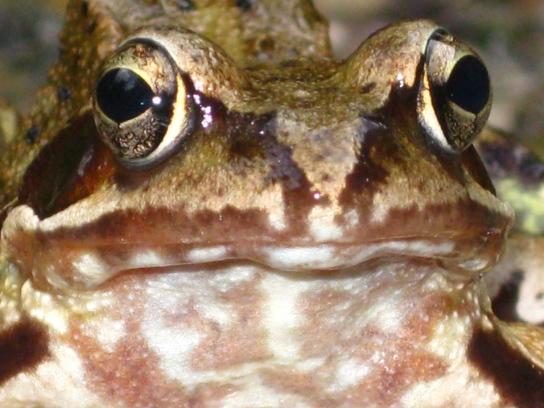 Große Froschaugen blicken den Betrachter an.