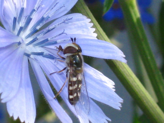 Ein Insekt (wespenartig) hat sich auf einer lilafarbenen Blume nieder gelassen.