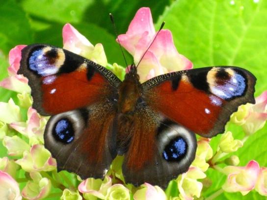 Ein ausgebreiteter Schmetterling sitzt auf einer Blüte