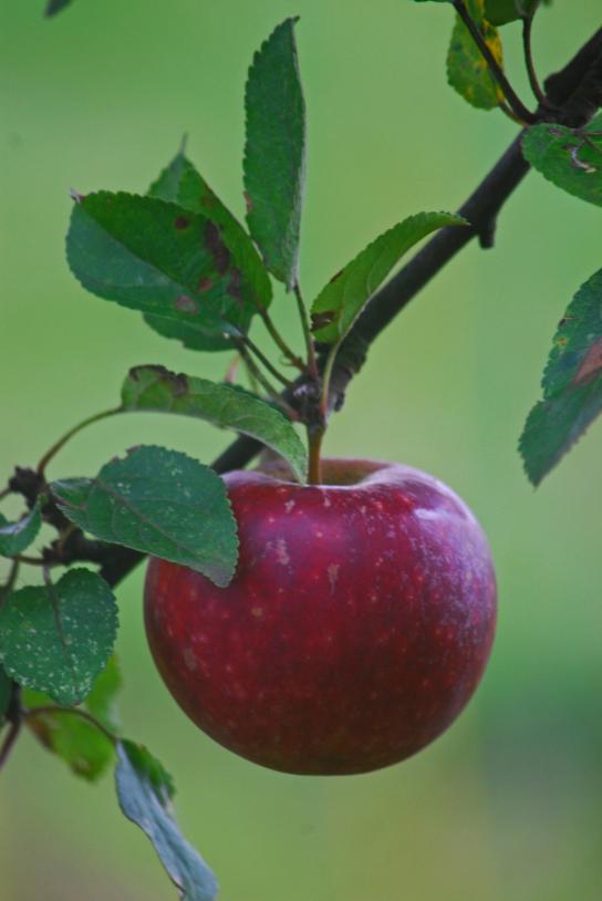 Ein roter Apfel hängt an einem Ast.