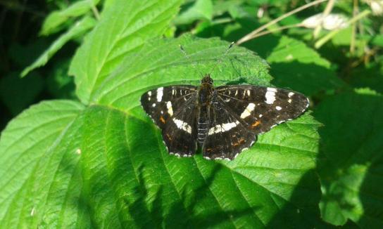 Das Landkärtchen oder der Landkärtchenfalter ist ein Schmetterling aus der Familie der Edelfalter (Wikipedia).
