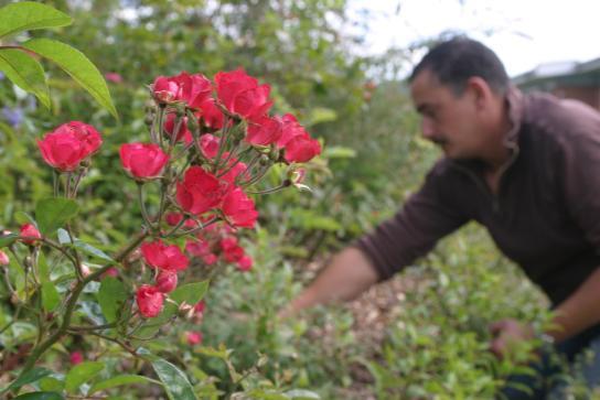 Rückschnitt der Rosen durch einen Mitarbeiter der Garten- und Landschaftpflege