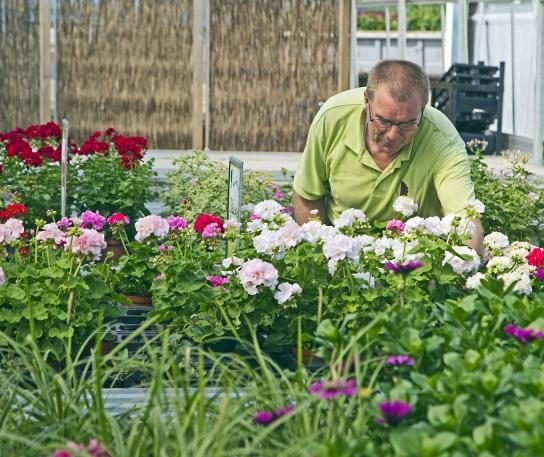 Bild Ein Mitarbeiter mit Handicap pflegt Blumen im